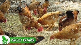 Cần làm gì khi gà bị bệnh Newcastle ghép nhiễm khuẩn kế phát
