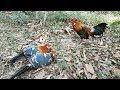 Lumayan Hasil Pikat Ayam Hutan Langsung Dapat 2 Ekor Sekaligus