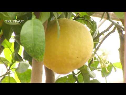 comment soigner agrumes