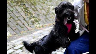 Skye Terriers in the Park