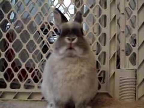 bunny - Netherland Dwarf rabbits have big personalities and a lot of energy.