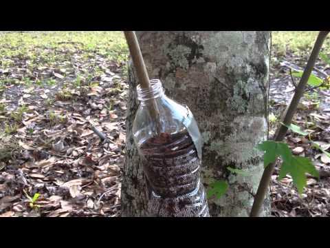 Air Layering - Using Water Bottles (Subtropical Gardening)