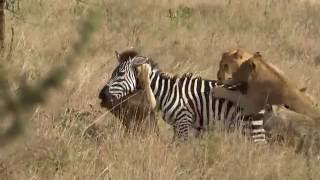 Nonton Young Lions Catch And Kill An Unfortunate Zebra In Serengeti Film Subtitle Indonesia Streaming Movie Download