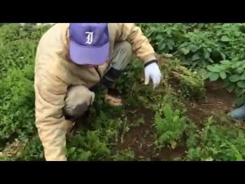 援農自然栽培の人参畑で草むしり ちーとー
