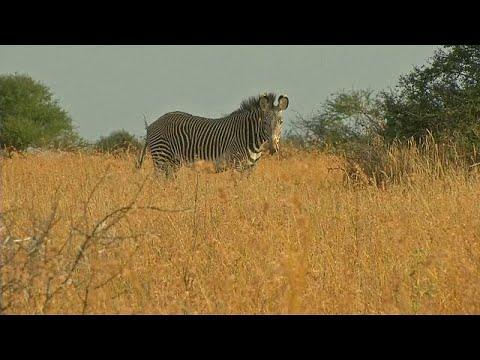 Naturschutz in Kenia: Zählung von Zebras und Giraff ...