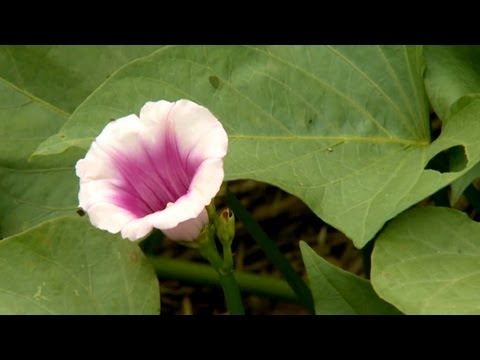 How to Plant Sweet Potato Vine | P. Allen Smith Classics