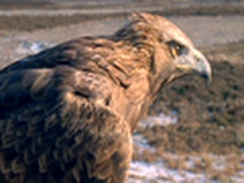 Golden Eagle vs. Jackrabbit