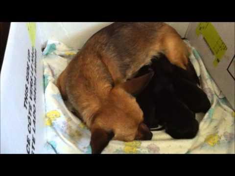 new born chihuahua puppies