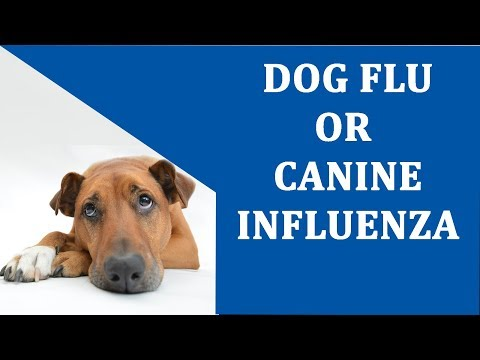 What Is Canine Influenza Or Dog Flu ? | Canine Influenza Treatment | Dog Cold Symptoms