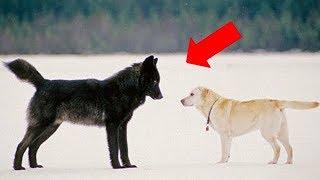 Удивительно дружелюбный волк Ромео
