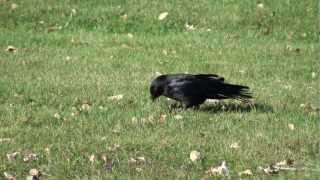 Pointe Claire (QC) Canada  City pictures : A Living Airplane! - Crow Searching for Food, Pointe Claire, Quebec, Canada