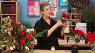 Cutting Poinsettia Blooms