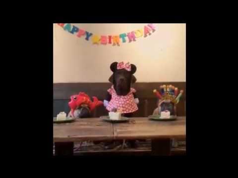 Gdy zaprosisz labradora na urodziny