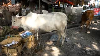 Myitkyina Myanmar  city images : Cow's life in Myitkyina, Myanmar/Burma