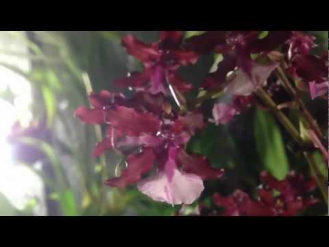 How to grow and rebloom Oncidium Sharry Baby