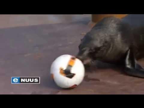 Pelsrobbe speel sokker / Seals play soccer