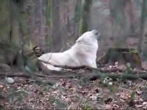 Hurlements de loups arctiques dans le parc de Werner Freund en Allemagne