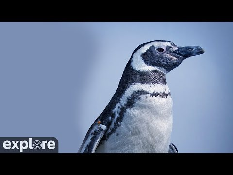 Magellan-Pinguine - Aquarium of the Pacific (Long  ...