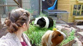 Garden For Guinea Pigs! Those of you concerned about why I feed cabbage, please watch this video: ...