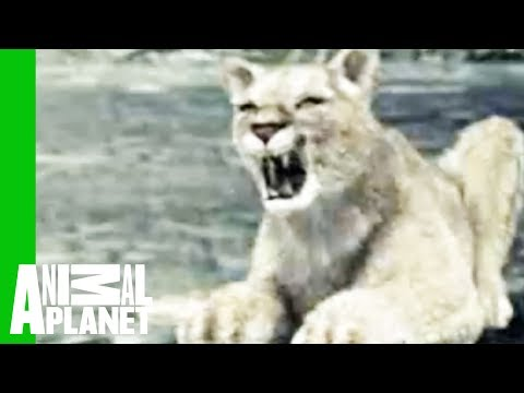 Animal Face-Off: Wolf vs. Cougar
