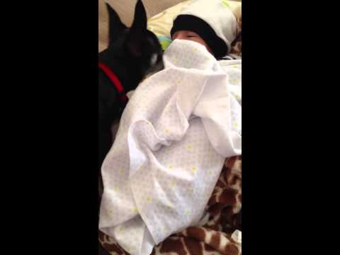 Chihuahua and Newborn Baby
