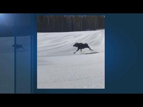 Κολοράντο: Τετ-α-τετ σκιέρ με γιγαντιαίο ελάφι