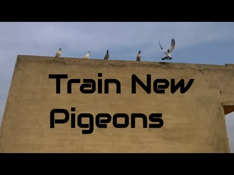 How to train new pigeons chicks to come back home part 3 - high flying pigeons-