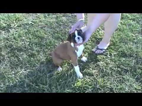 A video of AKC Boxer Bentley
