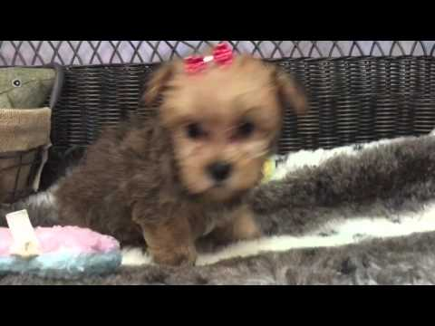 Adorable Cinnamon, Morkie puppy