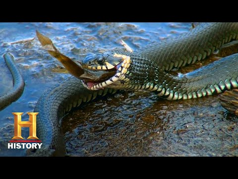 Swamp People: Troy and Willie Hunt Monster Pythons (Season 10) | History
