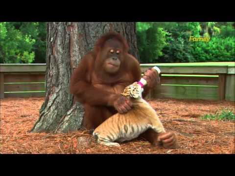 ogni giorno questo orango scende dall'albero: guardate il perché!