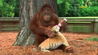 Cet orang-outan s'occupe des bébés tigres