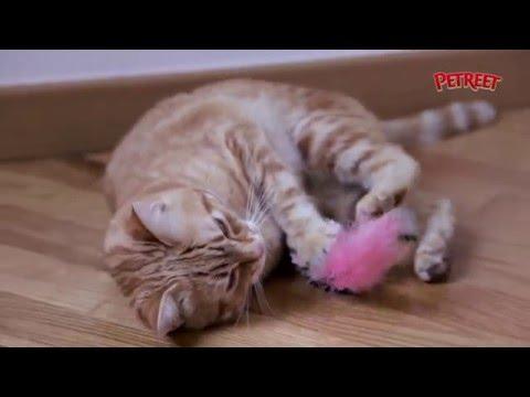 Come fare divertire il tuo gatto con l'erba gatta