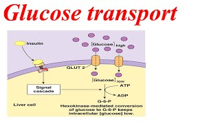 Glucose transport from liver to blood cell
