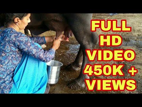 Video Fastest Buffalo Milking.. Dairyfarm Business, Gujarat. Village life vlogs download in MP3, 3GP, MP4, WEBM, AVI, FLV January 2017