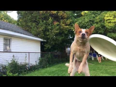 Hauska hidastus koirasta ja liitokiekosta