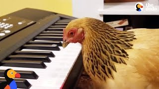 Patriotic Chicken Plays America the Beautiful on the Piano   The Dodo - HAPPY INDEPENDENCE DAY by The Dodo