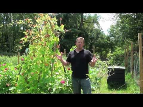 Scarlet Runner Beans – Organic Gardening