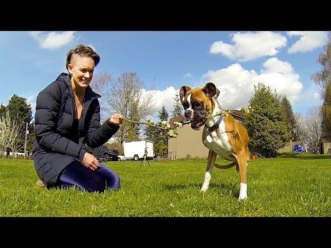 拳師犬拒輪椅 後肢被截依舊「快樂奔跑」