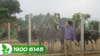Chăn nuôi đà điểu | Tư vấn thiết kế chuồng nuôi đà điểu đúng kỹ thuật
