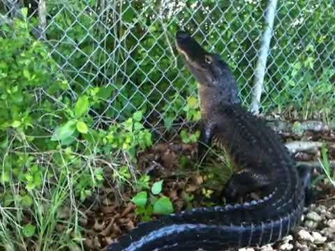 Oh no! Gators can climb fences.