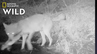 Wolves Catching and Eating Fish: First-Ever Video | Nat Geo Wild by Nat Geo WILD