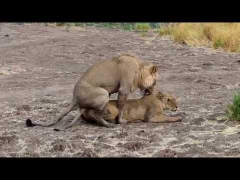 XxX Hot Indian SeX 2014 Surviving the Wild watching the Lions Love.3gp mp4 Tamil Video