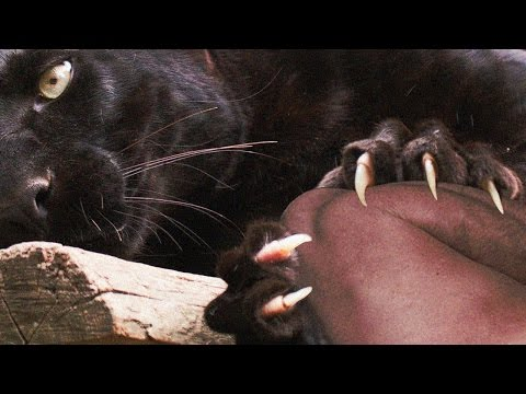 Video Black Panther Attacks ZooKeeper [How NOT to feed big cats] download in MP3, 3GP, MP4, WEBM, AVI, FLV January 2017