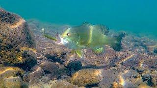 Video Underwater Bass Fishing Footage  | Drop Shotting Crystal Clear Water! MP3, 3GP, MP4, WEBM, AVI, FLV Februari 2019