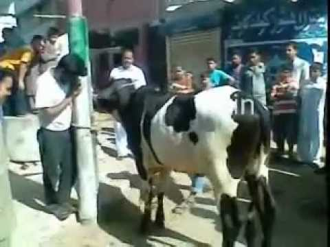 bakra eid qurbani 2011 - Karachi Bakra Eid Cow November 2011 Pakistan Shah Cattle lasania Don 2: The King Is Back Desi Boyz in Action cattle dilpasand cattle farm Movies Google Youtu...