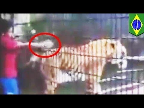 نمر يلتهم يد صبي في حديقة حيوانات في البرازيل