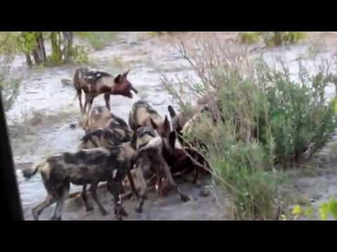 African Safari with Wild Dogs and Lions Mating