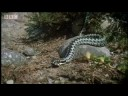 Amazing arctic snakes mating and fighting - Deadly Vipers - BBC animals