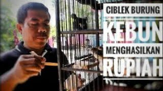 Download Video TERNAK CIBLEK CRISTAL TEGAL MP3 3GP MP4